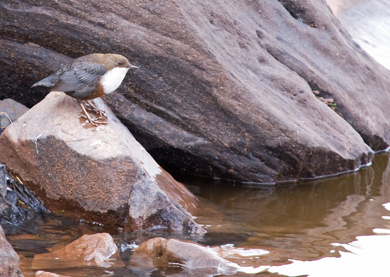 "In the High Atlas mountains outside Marrakesh we found no fewer than 4 of these White-throated Dippers. <div id=""caption_tourlink"" align=""right""> [Photo © George Armistead]</div>"