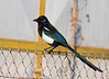 """Moroccan"" Magpie. Watch for a split here. The Dutch have split it already as Maghreb Magpie. The Mahgreb endemic <em>P. p. mauritanica</em> is quite different with its blue facial skin and  appears longer-tailed as well. <div id=""caption_tourlink"" align=""right""> [Photo © George Armistead]</div>"