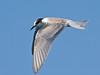 "Common Tern off Agadir. <div id=""caption_tourlink"" align=""right""> [Photo © George Armistead]</div>"