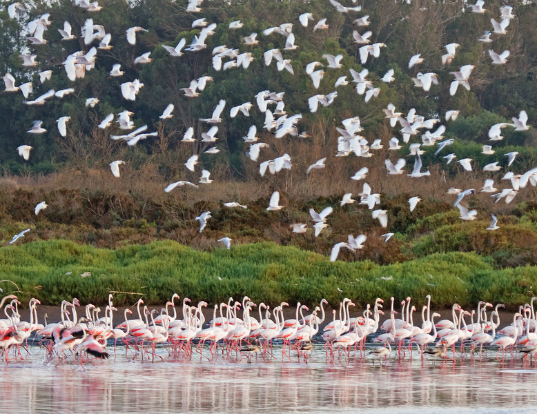 "The mouth of the Oued Souss is a spectacular spot to observe shorebirds and waterbirds. Here a flock of Cattle Egrets wings past some Greater Flamingos. <div id=""caption_tourlink"" align=""right""> [Photo © George Armistead]</div>"