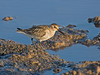"""In North America, we seldom see Dunlin in juvenal plumage, as many birds molt into winter plumage by the time they reach our most populous latitudes. But in the Old World juveniles are common indeed. <div id=""""caption_tourlink"""" align=""""right""""> [Photo © George Armistead]</div>"""