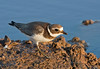 "A juvenile Common Ringed Plover at Oued Souss comes in for a close look. <div id=""caption_tourlink"" align=""right""> [Photo © George Armistead]</div>"