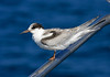 """Many folks loathe identifying birds in juvenal plumage, but some of these young birds show beautiful scaly patterns, as seen in this Common Tern. <div id=""""caption_tourlink"""" align=""""right""""> [Photo © George Armistead]</div>"""