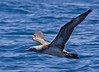 """Northern Gannets were in good numbers off the Atlantic Coast. <div id=""""caption_tourlink"""" align=""""right""""> [Photo © George Armistead]</div>"""