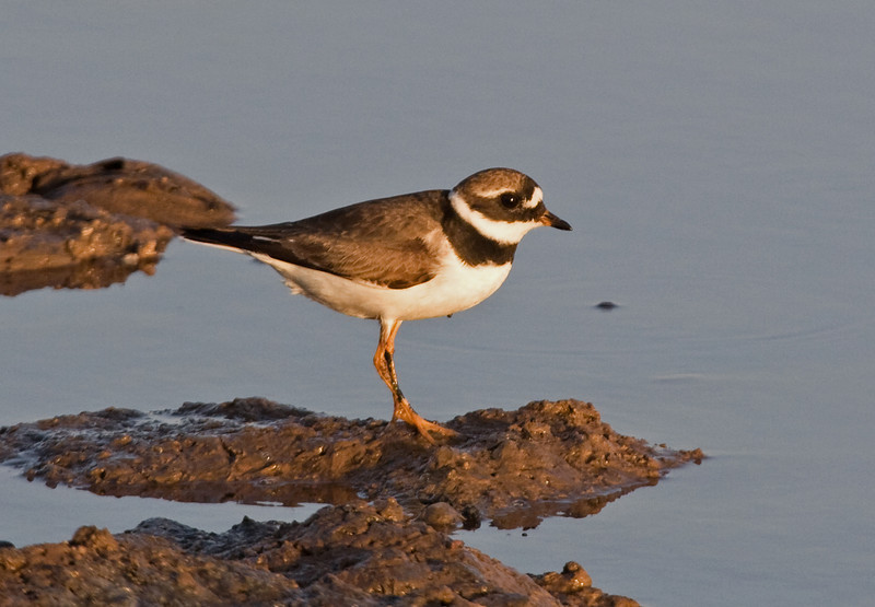 """An adult Common Ringed Plover shows off his nice white eyebrow, long bill, and thick chest band. <div id=""""caption_tourlink"""" align=""""right""""> [Photo © George Armistead]</div>"""