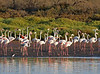 """Greater Flamingos are common in estuarine areas of Morocco. This species is believed extinct as a breeder in Morocco, and all birds seen today are believed to be migrants (most migration occurs at night) from the Camargue in France or the Fuenta de Piedra in Spain. <div id=""""caption_tourlink"""" align=""""right""""> [Photo © George Armistead]</div>"""