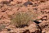 "A White-crowned Wheatear sits at attention just outside of the town of Ouarzazate. <div id=""caption_tourlink"" align=""right""> [Photo © George Armistead]</div>"