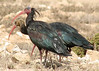"Northern Bald Ibis <div id=""caption_tourlink"" align=""right"">[photo © participant John Hardister]</div>"