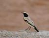 "Desert Whetear, Taliaouine <div id=""caption_tourlink"" align=""right"">[photo © guide George Armistead]</div>"