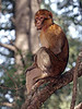 """It may be incongruous to think of monkeys in Morocco, but they are here. This is a Barbary Ape near Ifrane. There are also high mountains here, and forests -- it isn't only a sandy desert habitat. <div id=""""caption_tourlink"""" align=""""right"""">[photo © guide George Armistead]</div>"""