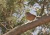 """Tristram's Warbler<div id=""""caption_tourlink"""" align=""""right"""">[photo © guide George Armistead]</div>"""