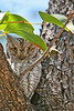 "African Scops-Owl<div id=""caption_tourlink"" align=""right""> [photo ©  participant Paul Thomas]</div>"