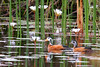 """African Pygmy-geese<div id=""""caption_tourlink"""" align=""""right""""> [photo ©  participant Paul Thomas]</div>"""