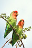 "Rosy-faced Lovebirds<div id=""caption_tourlink"" align=""right""> [photo ©  participant Paul Thomas]</div>"