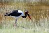 "Saddle-billed Stork<div id=""caption_tourlink"" align=""right""> [photo ©  participant Paul Thomas]</div>"