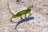 "Chameleon that decided <i>not</i> to blend in with the background (it was his day off)<div id=""caption_tourlink"" align=""right""> [photo ©  participant Paul Thomas]</div>"