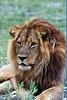 """Lion<div id=""""caption_tourlink"""" align=""""right""""> [photo ©  participant Paul Thomas]</div>"""