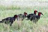 "Southern Ground-Hornbills<div id=""caption_tourlink"" align=""right""> [photo ©  participant Paul Thomas]</div>"