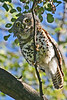 """African Barred Owlet<div id=""""caption_tourlink"""" align=""""right""""> [photo ©  participant Paul Thomas]</div>"""