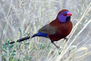 "Violet-eared Waxbill (aka Common Grenadier)<div id=""caption_tourlink"" align=""right""> [photo ©  participant Paul Thomas]</div>"
