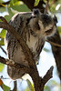 "Southern White-faced Scops-Owl<div id=""caption_tourlink"" align=""right""> [photo ©  participant Paul Thomas]</div>"