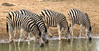 "Burchell's Zebras, some of the numerous mammals we see on this tour <div id=""caption_tourlink"" align=""right""> [photo © participant Dean Schuler]</div>"