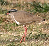 "Crowned Lapwing <div id=""caption_tourlink"" align=""right""> [photo © participant Dean Schuler]</div>"