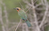 "A White-fronted Bee-eater in Kruger National Park <div id=""caption_tourlink"" align=""right""> [photo © participant Ken Havard]</div>"