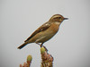 A migrant Whinchat seen near Donana in southern Spain.