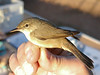 A recently banded Reed Warbler.  This species is a common breeder in a number of wetlands we visit on the Spain tour.  This one was near Laguna Manjavaca, where a local ornithologist was doing some bird banding.