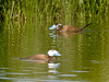 A couple of White-headed Ducks, another of Spain's special species.  Great effort has been made to protect these from invading Ruddy Ducks.