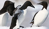 Thick-billed Murres (Photo by Teresa Paschall)