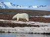 Polar Bear at Liefdefjorden with mountains -- quite the setting! (Photo by guide John Coons)