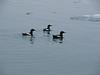 Black Guillemots (Photo by guide John Coons)
