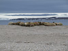 Male Walruses on beach at Torrellneset (Photo by guide John Coons)