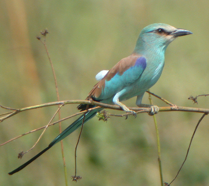 "The Abyssinian Roller, see...lots of great color and neat looking birds these rollers are. <div id=""caption_tourlink"" align=""right""> [photo © Mike Crewe]</div>"