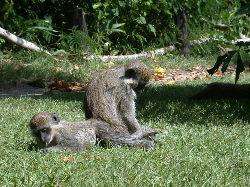 """Finally, there are some neat mammals on this tour as well. These are Green Vervet Monkeys.<div id=""""caption_tourlink"""" align=""""right""""> [photo © Mike Crewe]</div>"""