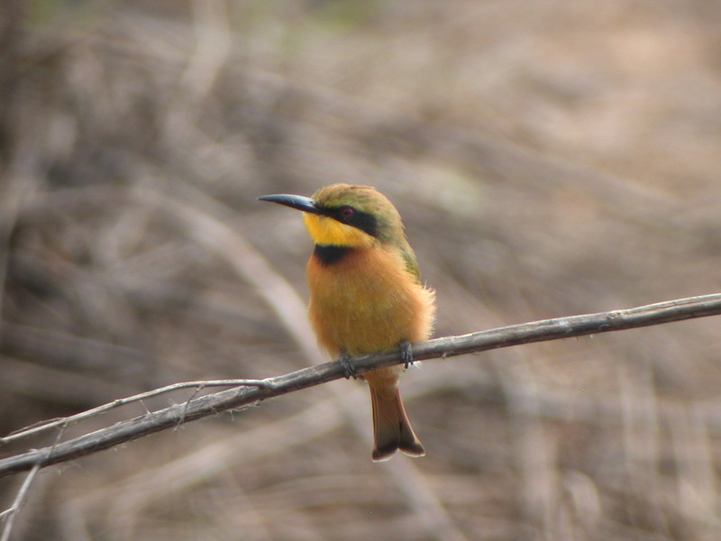 "The Little Bee-eater is one of the more subdued of the group. <div id=""caption_tourlink"" align=""right""> [photo © Mike Crewe]</div>"