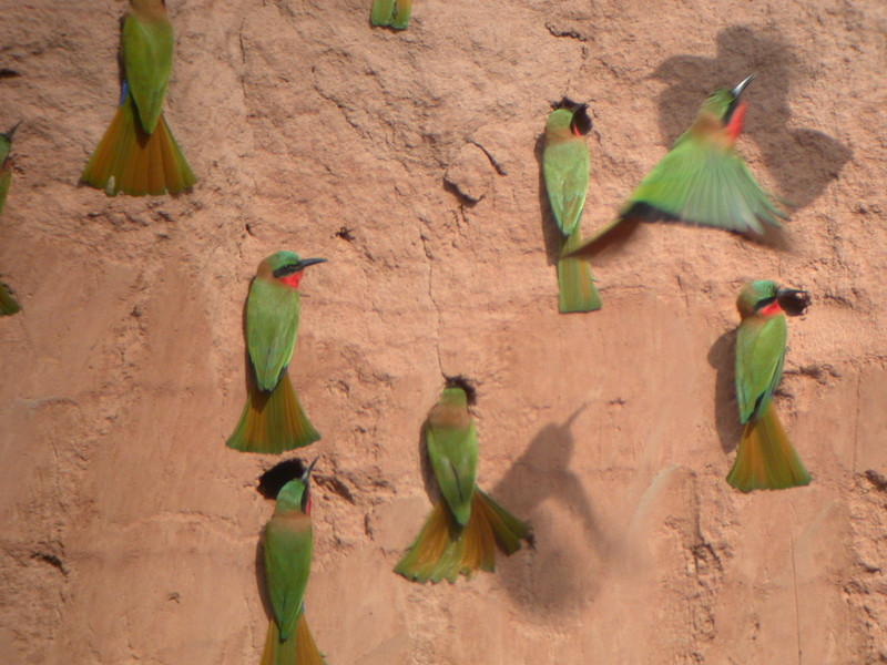 """The related Bee-eaters are also an Old World group that is about as gorgeous as birds get. These are Red-throated Bee-eaters.<div id=""""caption_tourlink"""" align=""""right""""> [photo © Mike Crewe]</div>"""
