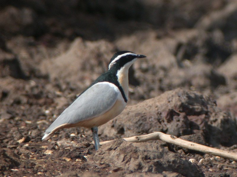 """The Egyptian Plover is in a family of its own, and is not difficult to find in The Gambia. <div id=""""caption_tourlink"""" align=""""right""""> [photo © Mike Crewe]</div>"""