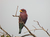 """A Broad-billed Roller, an old world family that is definitely of the colorful persuasion. <div id=""""caption_tourlink"""" align=""""right""""> [photo © Mike Crewe]</div>"""