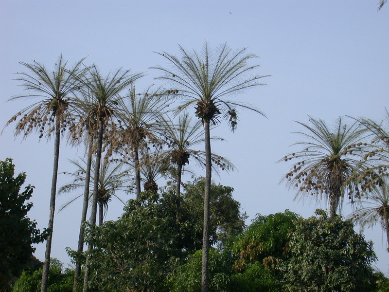 """Weaver nests in the palms. <div id=""""caption_tourlink"""" align=""""right""""> [photo © Mike Crewe]</div>"""
