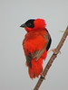 """Nothing like starting out with a little color, and there is a lot of color in The Gambia. This is a Northern Red Bishop. <div id=""""caption_tourlink"""" align=""""right""""> [photo © Mike Crewe]</div>"""