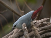 """The Lavender Waxbill is a species that is a well known cagebird, and has been introduced to other parts of the world, but here it is a native species. <div id=""""caption_tourlink"""" align=""""right""""> [photo © Mike Crewe]</div>"""