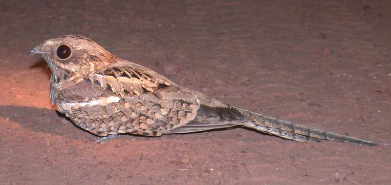 "Long-tailed Nightjar is a nice one to see, nightjars with long tails are always a draw! <div id=""caption_tourlink"" align=""right""> [photo © Mike Crewe]</div>"