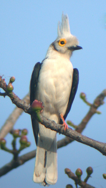 "White Helmetshrike<div id=""caption_tourlink"" align=""right""> [photo © Mike Crewe]</div>"