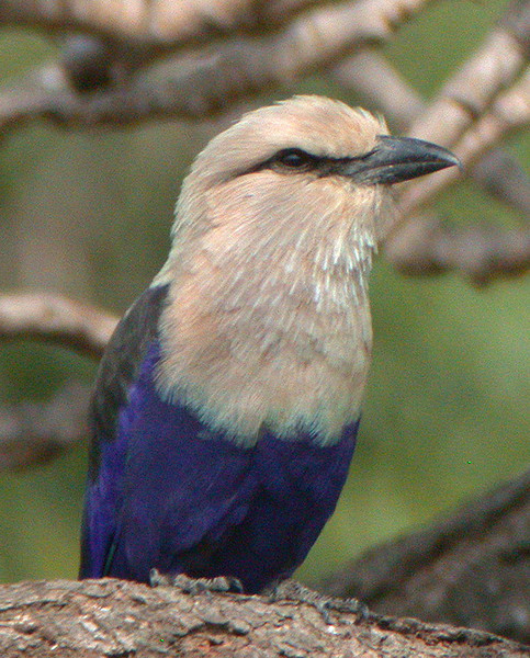 """Blue-bellied Roller <div id=""""caption_tourlink"""" align=""""right""""> [photo © Mike Crewe]</div>"""