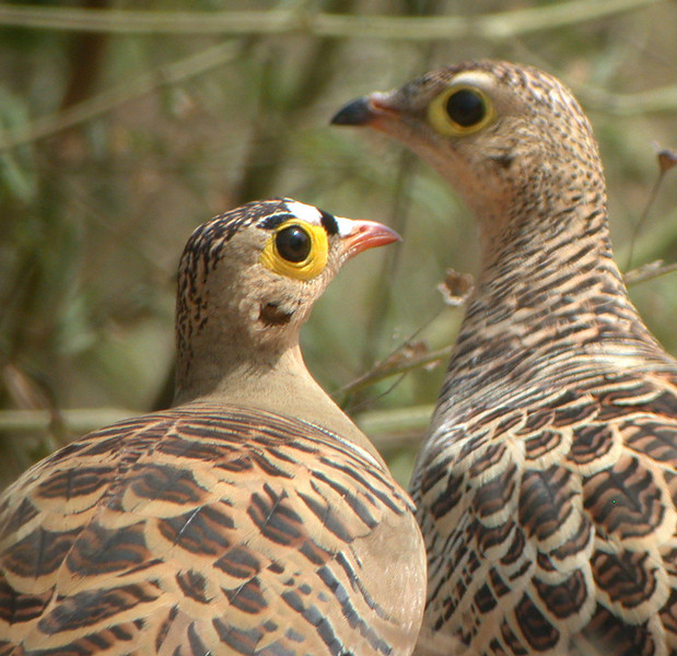 "Four-banded Sandgrouse<div id=""caption_tourlink"" align=""right""> [photo © Mike Crewe]</div>"
