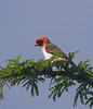 Red-headed Weaver at Lake Mburo  (Photo by guide Phil Gregory)