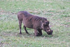 This Warthog looks like he's facing east, but he's actually eating; it's bizarre how they have to bend their front legs in this fashion.  (Photo by guide Phil Gregory)